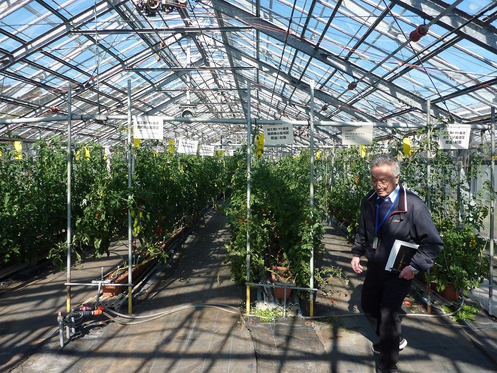 写真4.園芸経営学科におけるトマトの実習用ビニールハウスです。
